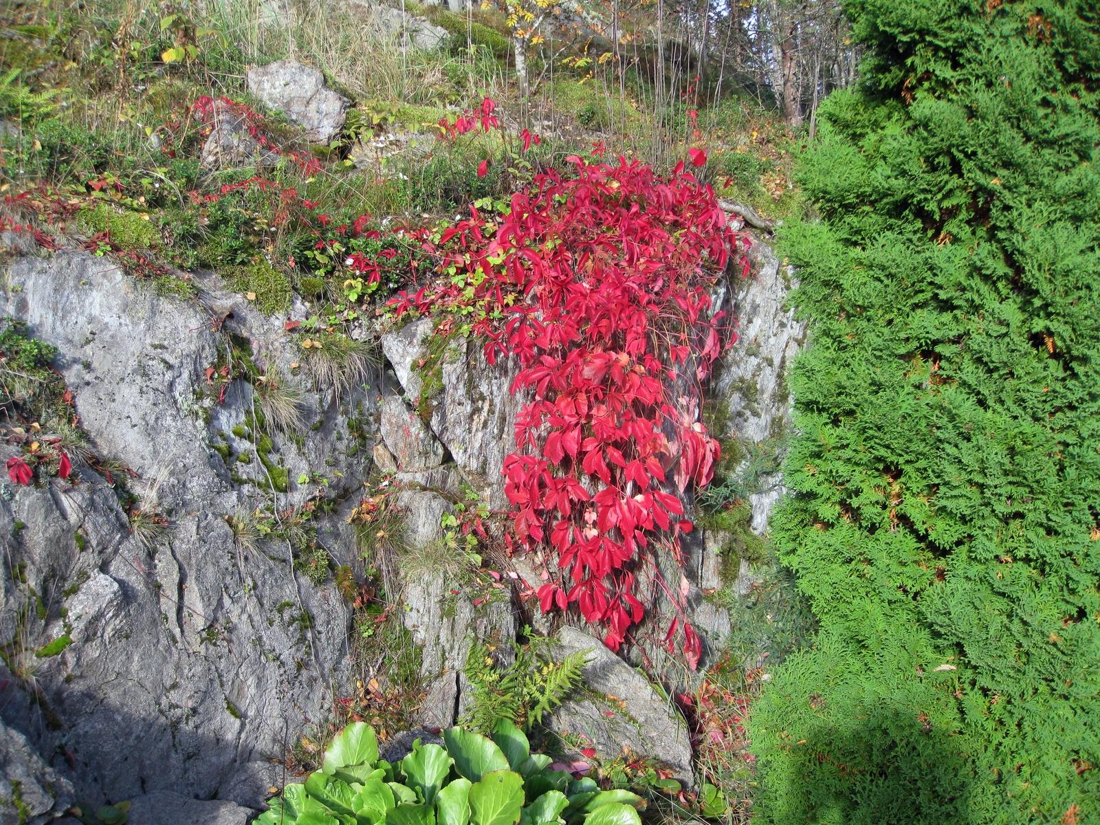 Kallion reunalla kasvaa villiviiniä, joka loistaa ruskan väreissä syksyllä
