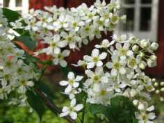 Mummolan tuomi kukkii