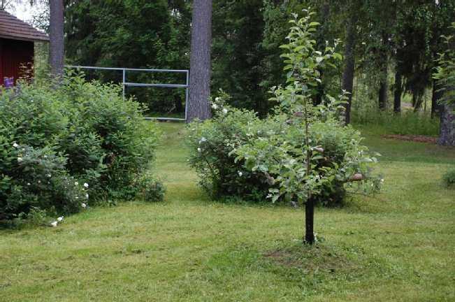 Omenapuu kasvamassa talon suojaisalla eteläseinu...