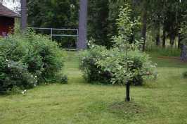 Omenapuu kasvamassa talon suojaisalla eteläseinustalla