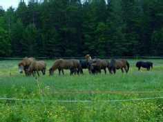 Hevosia Hietalan tilan laitumella.