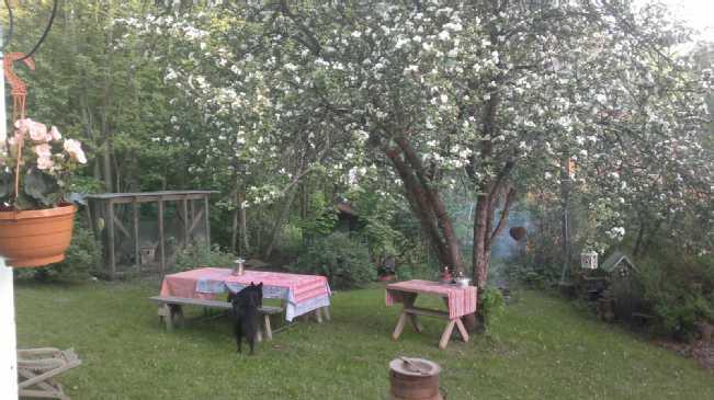 Tontilla kolme omenapuuta.