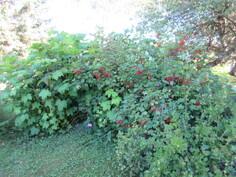 Kauniin puutarhatontin ylpeys ovat herkulliset herukat ja perinteiset perennat!