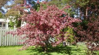 Pihalla kauniita puita