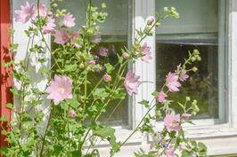 Vanhan ajan kukkaloistoa ja perennoja pihassa / gamla perenner på gården