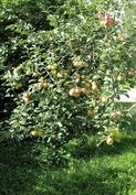 omenapuun satoa