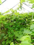 Kasvihuoneessa viihtyvät viinirypäleet