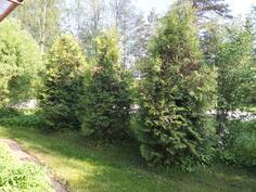 Takapihalla on suojaisa paikka istua tuijien suojassa