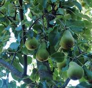 Puu täynnä ihania päärynöitä