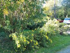 Kultasadepuu etupihalla
