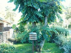 Takapihalla kasvaa upea pähkinäpuu