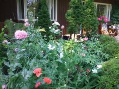 etupihan monivuotisia kasveja