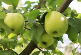omenat omasta pihasta