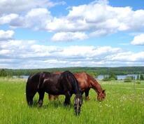 Hevosia omalla laitumella