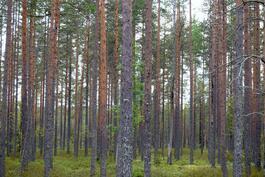 hakattavaa metsää harrastelijametsurille