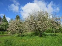 Mökin ympärillä on myös rehevä hyötypuutarha, jossa mm. erikoisomenalajikkeita ja mustaa viinimarjaa!