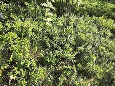 Omalla tontilla kasvaa myös marjoja.