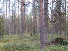 Varttunutta metsää kuviolta 735