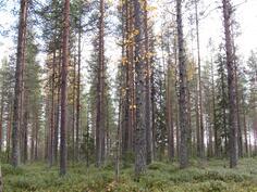Varttunutta metsää kuviolla 727