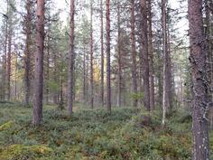Varttunutta metsää kuviolla 726