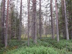 Varttunutta metsää kuviolta 731