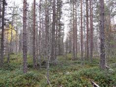 Nuorta metsää kuviolta 730