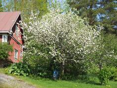 Omenapuu ulkorakennuksen päädyssä