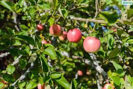 Omenat saat omista puista