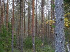 Hyvin hoidettu metsä
