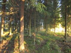Tilan n. 0,9 ha havumetsäpalstalla on myös korjuukypsää puuta!
