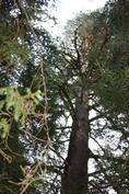 Isoja puita