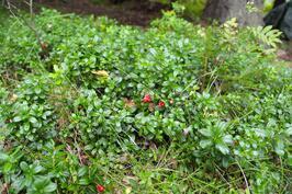 Puolukoita omalta pihalta, löytyy myös mustikoita sekä sieniä.
