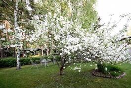 Takapihan omenapuut kukassa