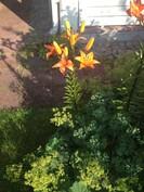 monivuotisia liljoja