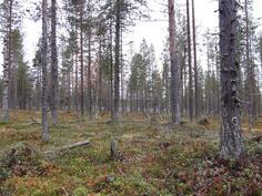 Kuvion 716 keskivaiheilta varttunutta metsää