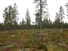 Kuviolta 719 metsän uudistuminen meneillään