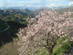 mantelipuut kukkivat tammikuussa