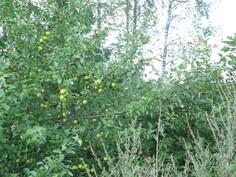 Tontin sisääntulon alueella kasvaa jo aika tuottoisa omenapuu, ehkä Syysviiru.