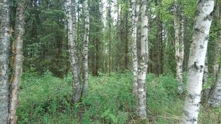 kiinteistöllä on myös lehtipuuta
