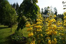 Etupihalla kukkapenkkien vierellä sateenvarjojalava ja luumupuu.