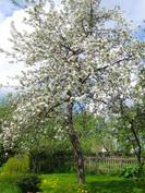 Omenapuu (yksi kolmesta)