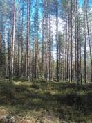 Näkymä metsään. Kiinteistöllä on heti hakattavaa puustoa.