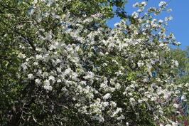 Omenapuu 2017