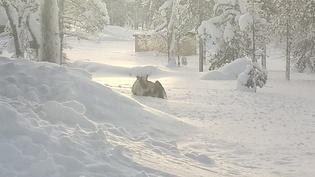 Takapihaa talvella, poro huilaamassa