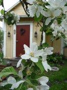 Omenapuut kukkivat sisäpihalla jossa ulkorakennus