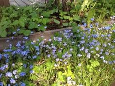 Keväällä kukkii