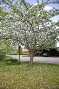 Satoisa omenapuu