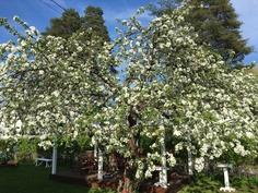 Omenapuun hehkua