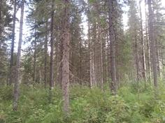 Hakkuukypsä metsä