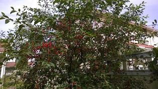Kirsikkasatoa